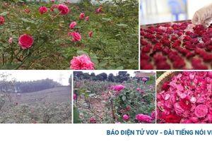 Vườn hồng cổ mang lại nguồn thu nhập 'khủng' và ổn định