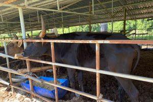 Đàn bò tót Phước Bình đang hồi sinh