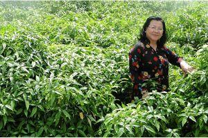 Khát khao nâng tầm thảo dược Việt