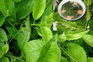 Cây rau bầu đất ăn cực ngon, chữa bệnh hiệu quả ai cũng có thể trồng
