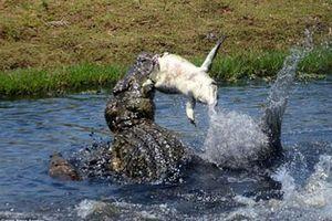 Cá sấu khổng lồ xé xác đồng loại làm mồi ngon