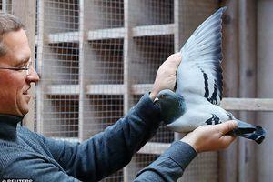 Con bồ câu từng vô địch hội thi chim được bán giá cao kỉ lục 43 tỉ đồng