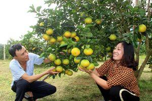 Choáng ngợp với những vườn cam Vinh trĩu quả ở Anh Sơn