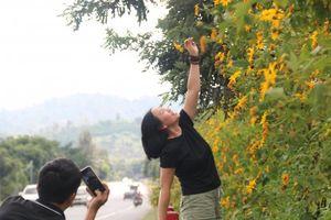 Chiêm ngưỡng sắc hoa Dã Quỳ đang nở rộ ở Lâm Đồng
