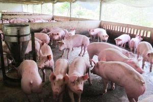 Hà Nội: Xử phạt hộ chăn nuôi tái đàn lợn không khai báo