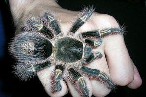 Kinh dị những loài nhện khổng lồ không dành cho hội yếu tim