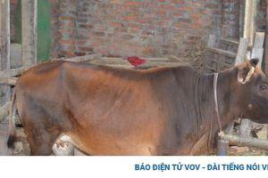 Cẩn trọng trước tình trạng lây lan của bệnh viêm da nổi cục trên trâu bò