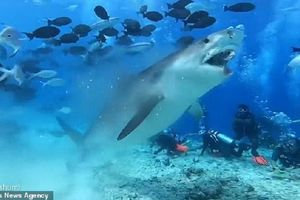 Rùng mình cảnh cá mập háu đói xé toạc đầu cá buồm