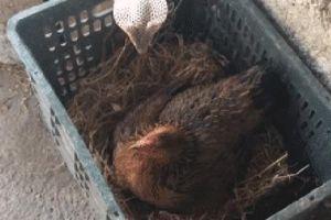 2 con hổ mang Trung Quốc lừ lừ tiến tới quây gà mẹ, nhưng bị mổ cho tơi tả