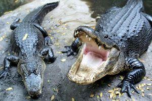 Hermès mở trang trại 50.000 con cá sấu để làm túi