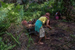 Cuộc sống đầy 'đắng cay' của nữ công nhân trồng cọ ở Indonesia