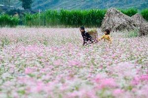 Sắn hoa Cao nguyên Đá