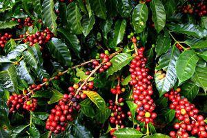 Giá cà phê hôm nay 21/11: Đồng loạt dưới mốc 33 triệu đồng/tấn, cà phê Arabica giảm mạnh