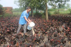 Bà Rịa-Vũng Tàu: Người nuôi gà phục vụ Tết lo lắng khi giá giảm sâu