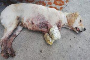 Chú chó đáng thương bị bỏ rơi trên phố với hai chân trước bị cắt cụt
