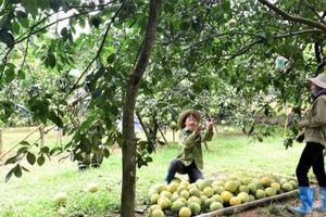 Vùng bưởi ngọt Xuân Vân cho quả ngon top 10 cả nước