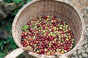 Giá cà phê hôm nay 23/11: Kịch bản nào cho vụ mùa cà phê mới?