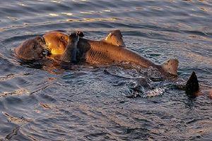 Ảnh động vật: Rái cá biển cố gắng ăn thịt cá mập sừng