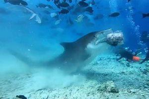 Đàn cá mập hàng trăm con cùng nhau xâu xé cá buồm