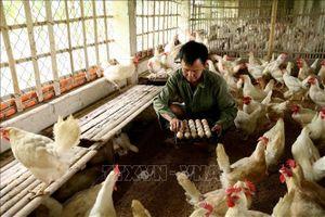 Liên kết hộ chăn nuôi gia cầm theo hướng sản xuất hàng hóa