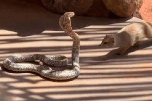 Hổ mang Nam Phi bị cầy Mangut tấn công và pha 'độn thổ' giữa bãi đất trống giúp nó thoát chết