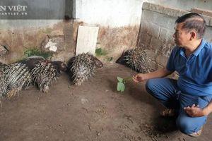 Thái Bình: Nuôi nhím lông nhọn hoắt, nuôi lợn rừng phàm ăn, ông đại tá về hưu nuôi chơi thu tiền thật