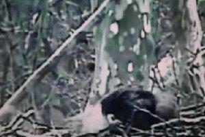 Cả gan lao vào ổ đại bàng đầu trắng để cướp trứng, ưng đuôi lửa bị giết chết trong chớp mắt