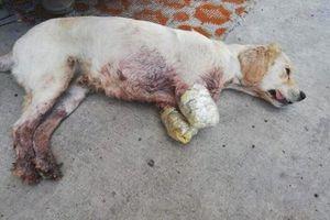 Chú chó với hai chân trước bị cắt cụt bị bỏ rơi trên phố