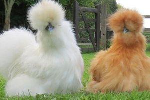 Lợn lông cừu, gà lông chó và những con vật kỳ lạ nhất thế giới