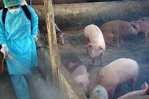 Hà Nội: Thực hiện đồng bộ, nghiêm túc các giải pháp phòng, chống bệnh tả lợn châu Phi