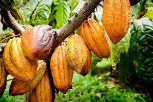 Giá cacao, cao su tiếp tục tăng mạnh trong khi giá bông, đường quay đầu giảm