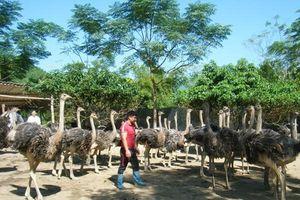 Kiên trì nuôi đà điểu, anh nông dân Hà Giang thu lãi nửa tỷ đồng mỗi lứa