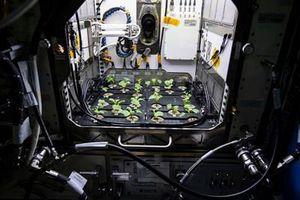 NASA trồng cải trên trạm Vũ trụ Quốc tế, trong sứ mệnh chinh phục Sao Hỏa