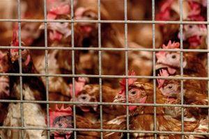 Dịch cúm gia cầm bùng phát, ngành chăn nuôi của EU lao đao