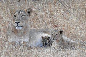 CLIP: Bầy voi tấn công sư tử để trả thù cho con