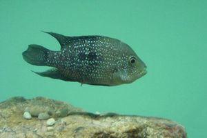 CLIP: Chiến thuật 'tranh làm bố' siêu bá đạo của loài cá Mexico