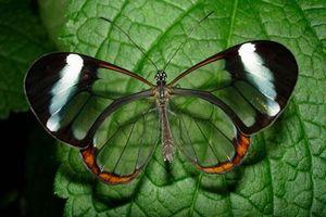 CLIP: Greta oto - 'Đôi cánh thủy tinh' trong thế giới côn trùng