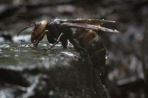 CLIP: Ong bắp cày khổng lồ 'đổ máu' khi giành tổ của đàn ong 1.500 con