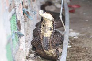 Nuôi loài rắn cực độc, anh nông dân miền Tây thu tiền tỷ mỗi năm