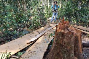 Bắt nhóm lâm tặc chặt 7 cây bạch tùng hàng trăm năm tuổi