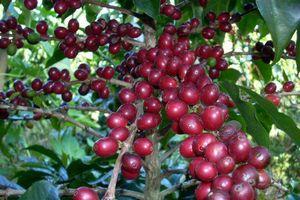 Giá cà phê hôm nay 27/11: Cà phê Robusta tăng vọt, trong nước cùng vượt mốc 33 triệu đồng/tấn