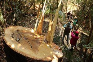 Bắt 3 đối tượng liên quan tới vụ phá rừng bạch tùng ở Lâm Đồng