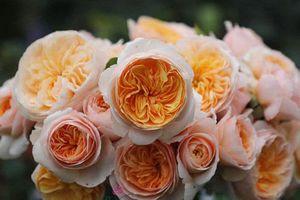 Chiêm ngưỡng những loài hoa hồng quyến rũ nhất thế giới