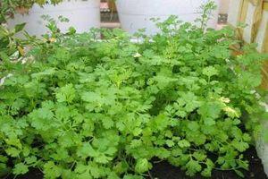 Bí kíp trồng rau mùi trong chậu chỉ với 20 ngày