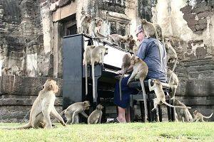 Tổ chức hòa nhạc piano cho khỉ ở Thái Lan