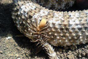 Cận cảnh phần đuôi 'lai nhện' của loài rắn độc dị thường