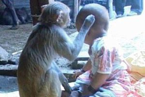 Khỉ tận tình săn sóc em bé như con
