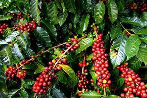 Giá cà phê hôm nay 29/11: Tăng 200 - 300 đồng/kg so với đầu tuần, dự báo khả quan cho Robusta