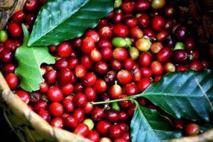 Giá cà phê hôm nay 29/11: Cà phê Robusta có khả quan hơn?