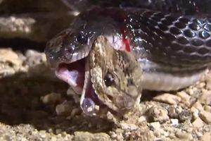 Rắn chuông bị rắn không có nọc độc nuốt từ đuôi